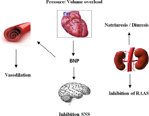 Fig 2 Physiological effects of B type natriuretic peptide BNP RAAS 2